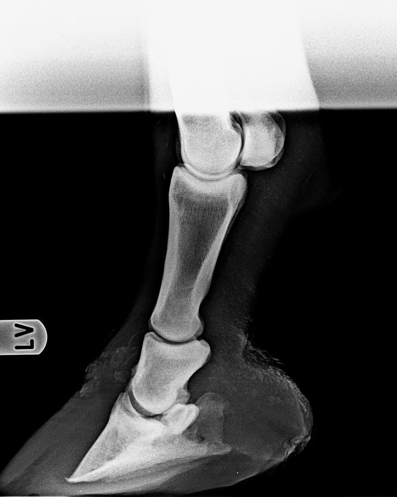 Hufrehe Röntgenbild Beispiel 1